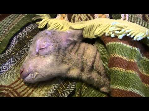 Trying to Save Two Dying New Born Lambs from Cold Wet and Windy Weather - Part 1
