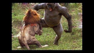 ライオン vs 猿の本当の戦い▻▻虎 ヒョウ くま、ヘビ.