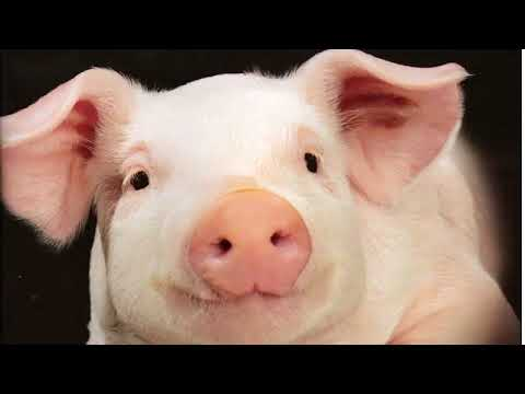 Dr. Alison Van Eenennaam - Can Biotechnology Bring Home the Bacon?