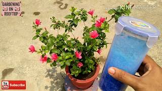 How to get 200% flowers from Hibiscus
