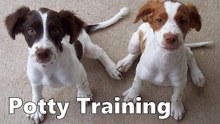 How To Potty Train A Brittany Puppy - Brittany House Training Tips - Housebreaking Brittany Puppies