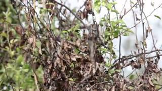 Il colpo di fuoco batterico - Erwinia amylovora