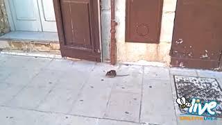 Barletta, topi per strada nel centro storico