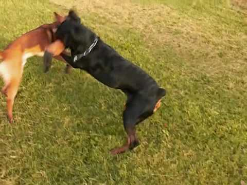 The Java Adventure Rottweiler Vs Malinois Youtube