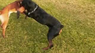 The Java Adventure - Rottweiler Vs Malinois