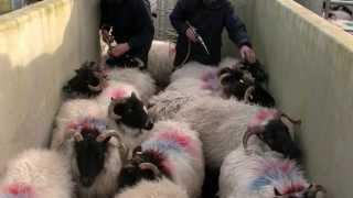 Ger Heraty: Sheep Medicine