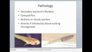 Monogenea kopoltyú paraziták - Akvárium karbantartás: paraziták az akváriumban