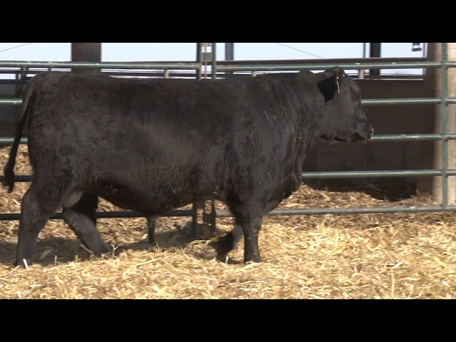 Schiefelbein Angus Farms Lot 25