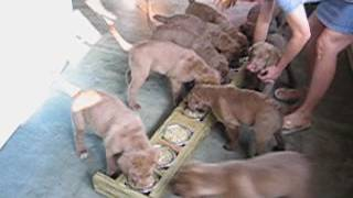 Here's how to feed 9 Chesapeake Bay Retriever puppies and make sure...