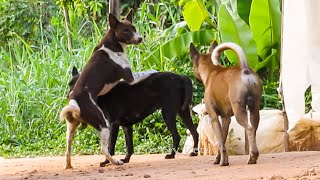 Amazing !!! Village Dogs Mating So Happy Near By My Home | Summer Dogs Meeting In Summer Season !!