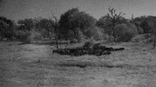 Djuma Private Game Reserve Live Stream: Breeding herd of buffalo come for a drink - Pt 2
