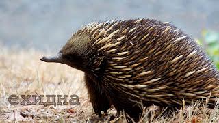 Голоса и звуки животных Австралии для детей