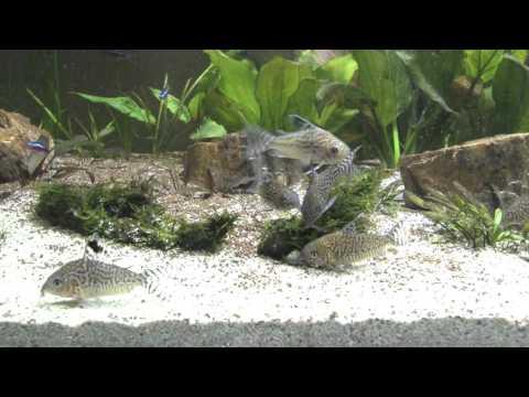 Corydoras Reticulated Reticulatus Tropical Fish Catfish