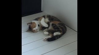 【獣医師が解説】猫伝染性腹膜炎「FIP」とは?死の病って本当?