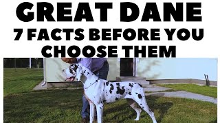 Before you buy a dog  GREAT DANE  7 facts to consider! DogCastTV!