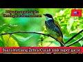 Suara Kicau Kutilang Zebra Gacor Cucak Bersisik Lincang Macan Ampuh Untuk Pikat Dan Masteran  Mp3 - Mp4 Download