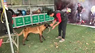 Hướng dẫn huấn luyện chó những động tác cơ bản phần 1 (( Be¢gie Bỉ ))