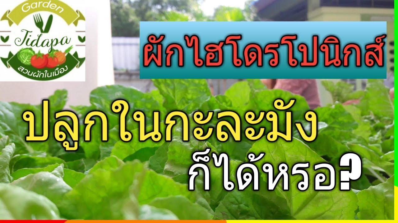 ผักไฮโดรโปนิกส์ || วิธีปลูกผักสลัด ในกะละมัง,grow vegetable at home. ep.3