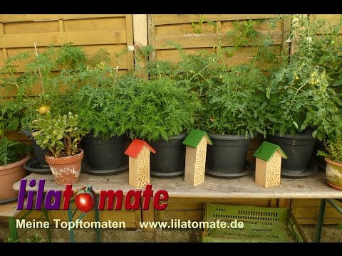 tomaten pflanzen pflege category on. Black Bedroom Furniture Sets. Home Design Ideas
