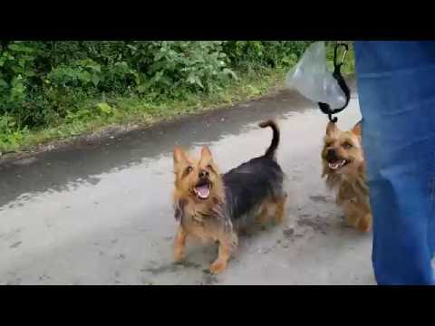 Australian Terrier Lesnoys Danilo