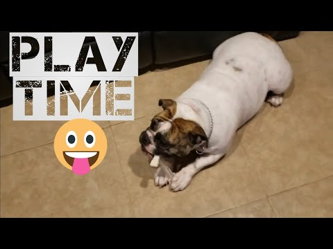 What Toys To Give Your ENGLISH BULLDOG