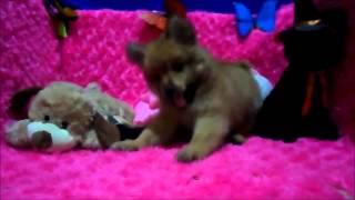 Pomeranian Mix Pomspitz ( Almost Pure Breed )
