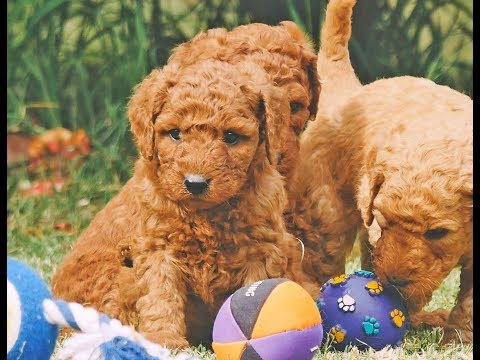 Standard Groodle Puppies Chevromist Kennels
