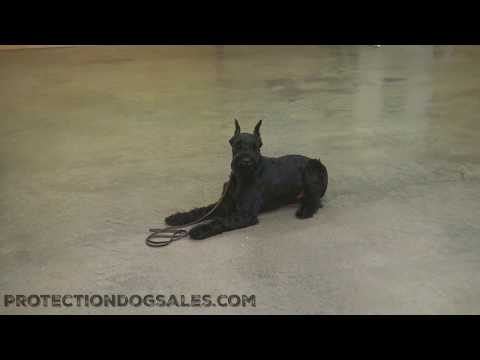 "Giant Schnauzer Male 16 Mo's ""Kelso"" Get To Know Him Dog For Sale"