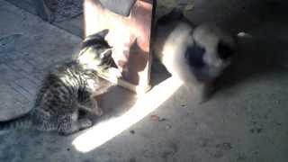 Борьба кота и собаки