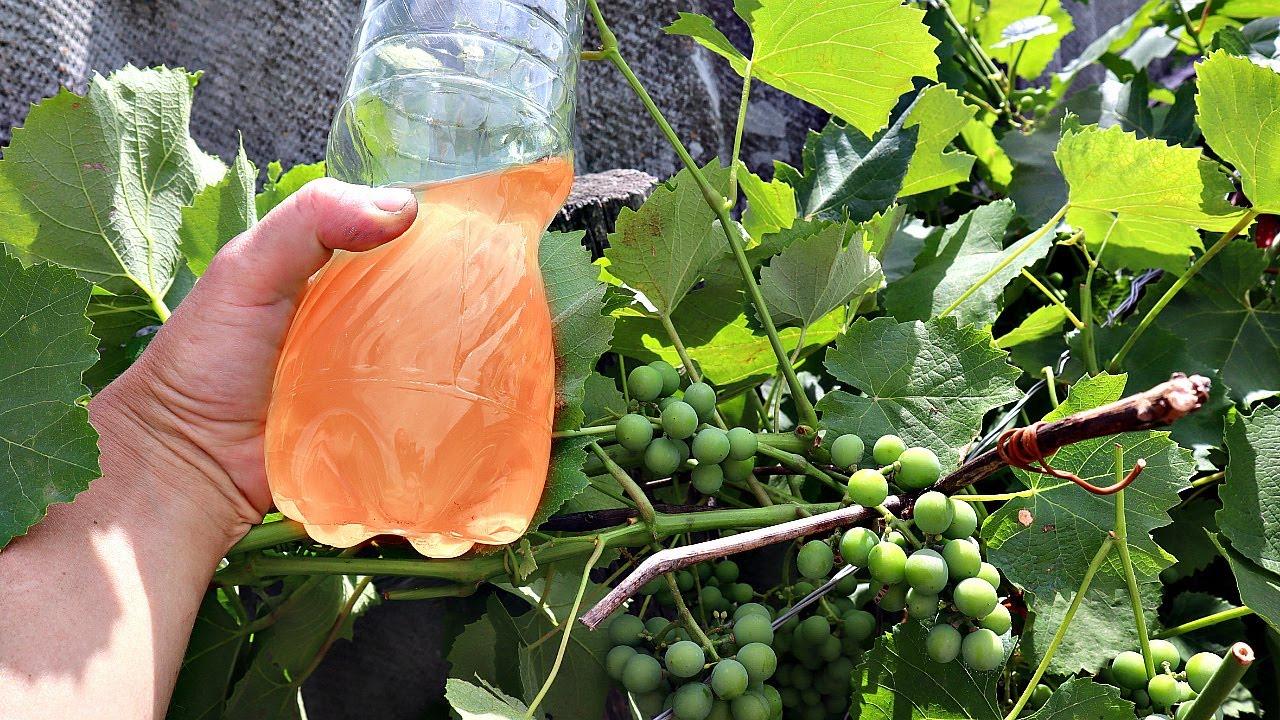 Виноградные лозы будут ломиться от крупных ягод если подпитать этим в августе! Подкормка винограда