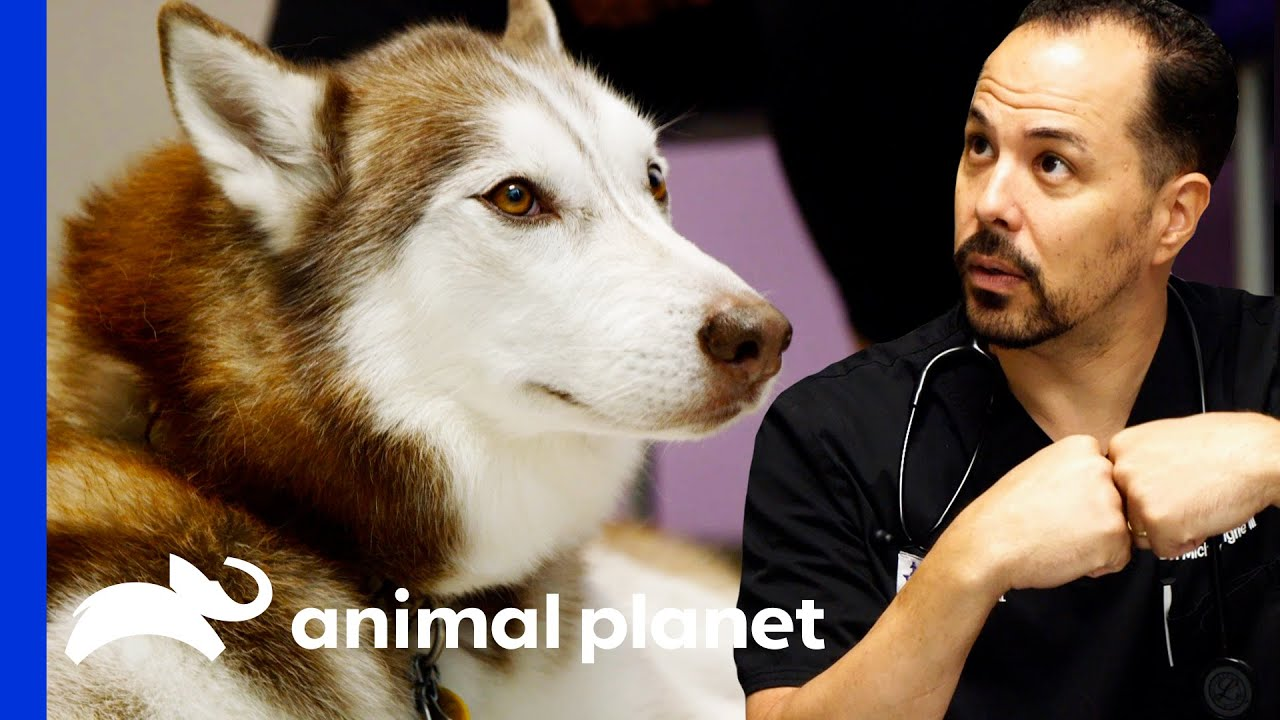 Dr. Lavigne Operates On A Siberian Husky   The Vet Life