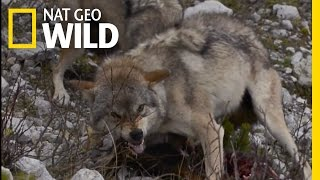 Dinnertime with Wolves | Destination WILD