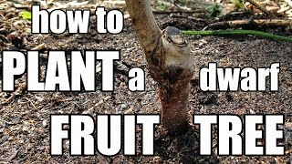 How to Plant a Dwarf Fruit Tree (Redhaven Peach)