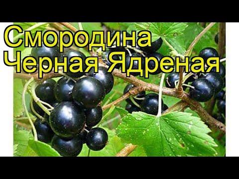 Смородина черная Ядреная (Iadrenaia). Краткий обзор, описание характеристик, где купить саженцы