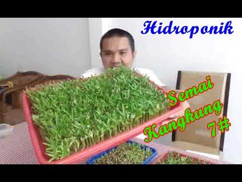 Semai Kangkung 7 Hidroponik