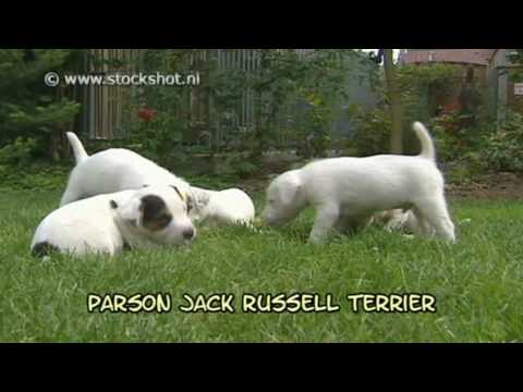 parson jack russell terrier & puppies