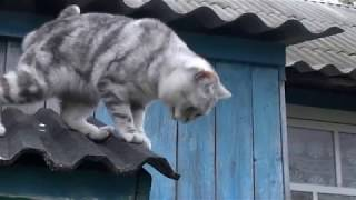 Шотландская прямоухая кошка Скоттиш Страйт на крыше. Scottish straight cat