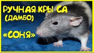 Ручная крыса (Дамбо). СМЕШНЫЕ МОМЕНТЫ!!!