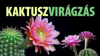 Kaktusz virágzás (relax video)