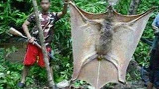طريقة صيد الخفاش العملاق و طهيه وأكله !