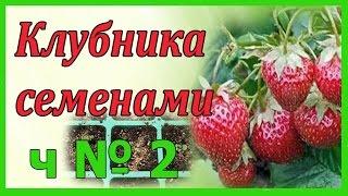 Посадка клубники крупноплодной семенами на рассаду ч. № 2 .