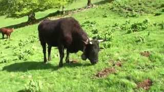 MON BEAU CANTAL 60 Les vaches montent à l'estive
