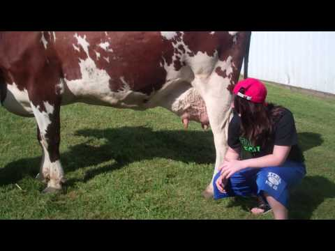 How to Judge Dairy Cattle