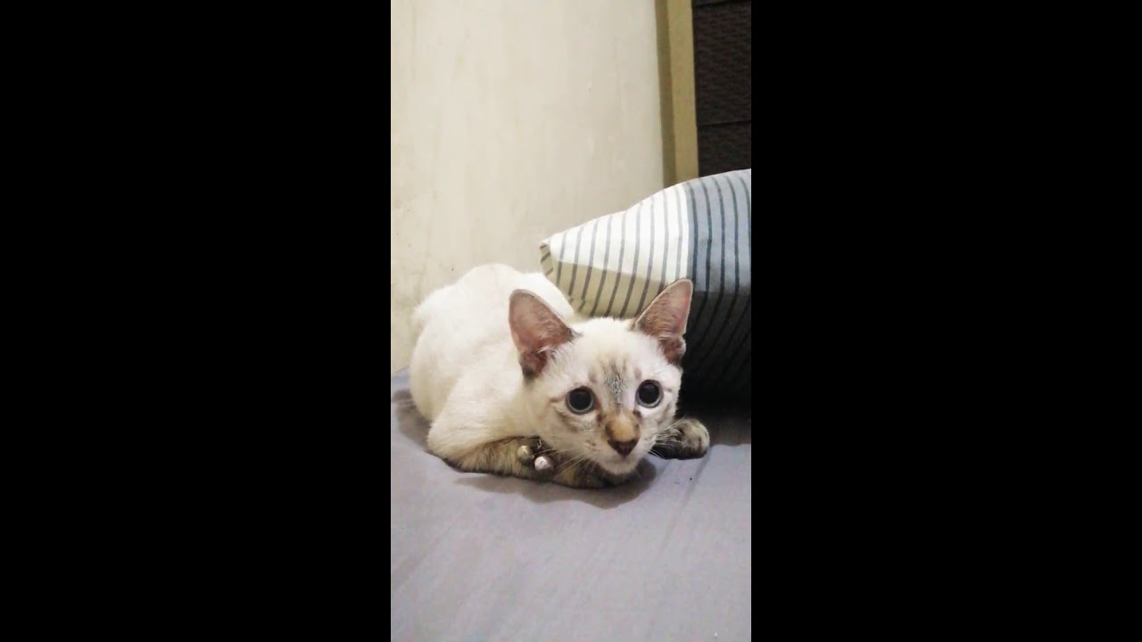 Lynx Point Siamese Cat 3 Months Old Youtube