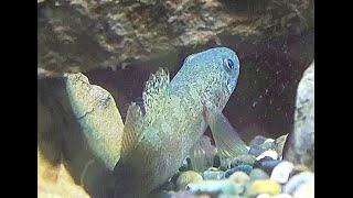 スミウキゴリ Sumiukigori Gymnogobius petschiliensis