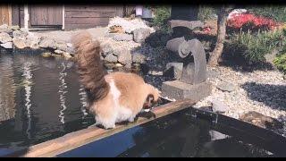 恋するラグドールのティモ、鯉に恋することもある?池の鯉と仲良く挨拶する猫