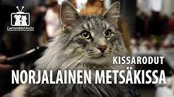 Kissat: Norjalainen Metsäkissa rotuesittely