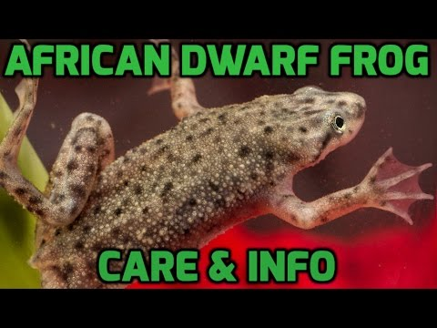 African Dwarf Frog Care, Advice And Information