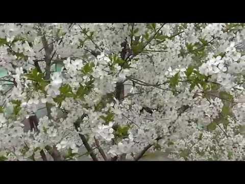 Черкассы Украина Цветение вишни. Украинская сакура.Вишневый рай.