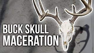 HOW TO CLEAN A DEER SKULL USING MACERATION!
